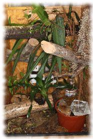 egernia haltung und pflege des rhacodactylus auriculatus. Black Bedroom Furniture Sets. Home Design Ideas